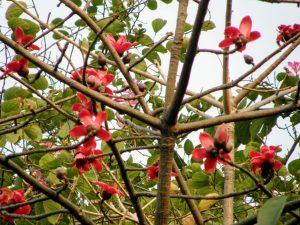 wild Kapok tree